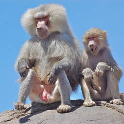 Paviane- Baboons