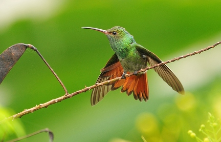 Rufous-tailed Hummingbird 1 (CR)