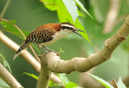Rufous naped Wren (CR)