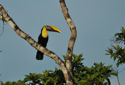 Chestnut mandible Tucan 3 (CR)