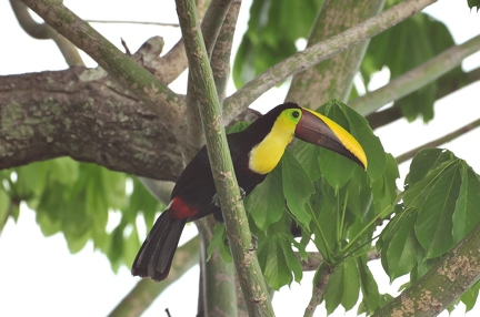 Chestnut mandible Tucan 2 (CR)