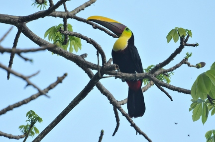 Chestnut mandible Tucan 1 (CR)