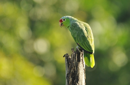 Red lored Parrot (CR)