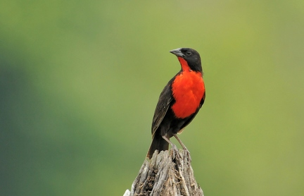 Red breasted Blackbird (CR)