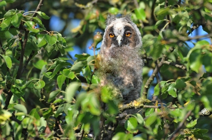 Long-eared owl (chick)