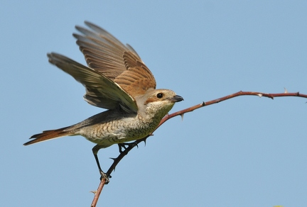 Shrike (female)