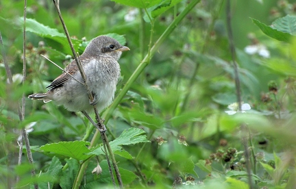 Shrike (young)